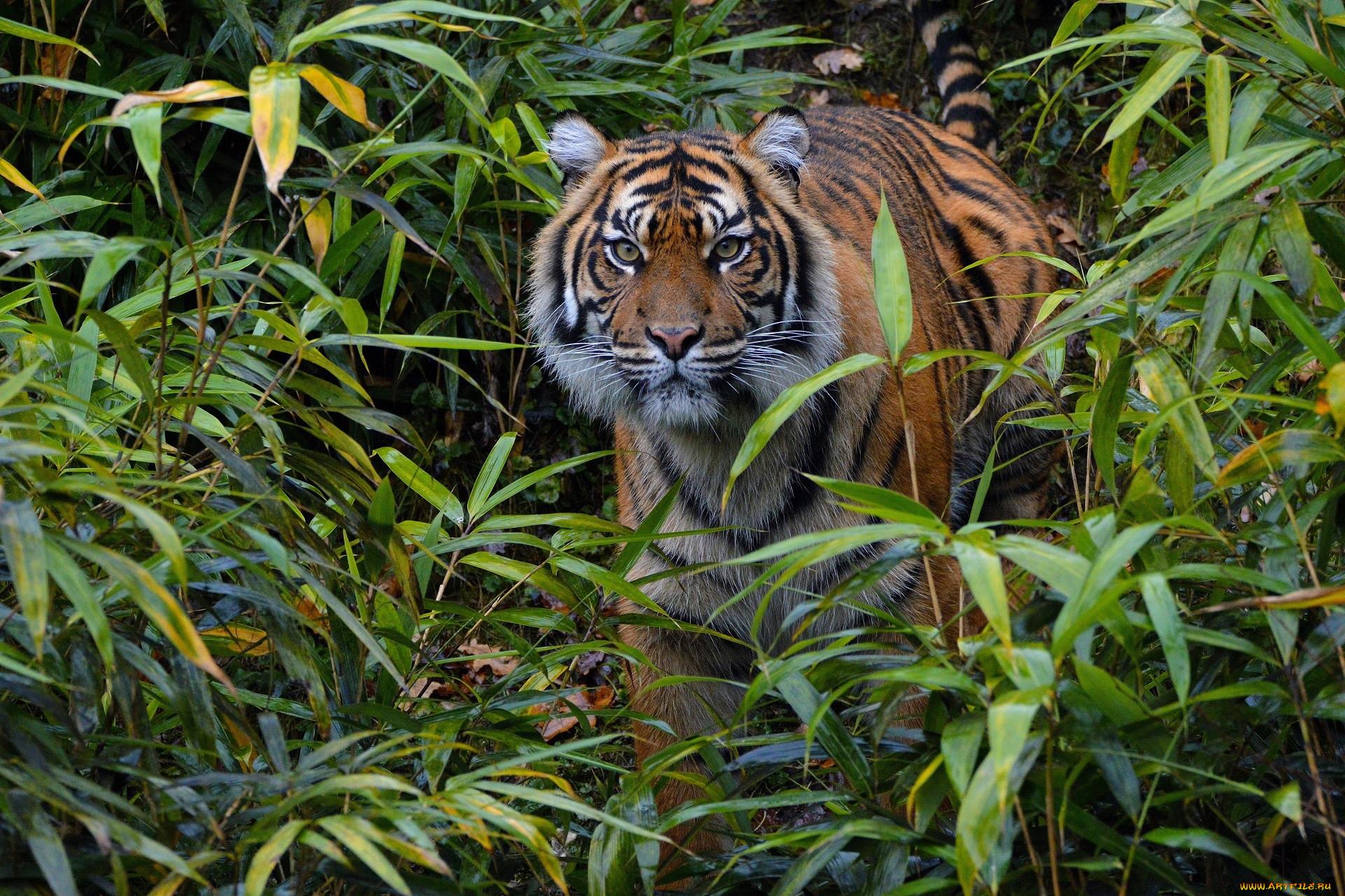 картинки тигр в джунгли пожелания раннего утра
